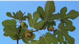 fig tree_cropped
